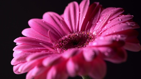 Pink magenta gerbera flower with water drops on black isolated background. Beautiful single blooming gerbera. Daisy is flower of Asteraceae family. Banco de Imagens