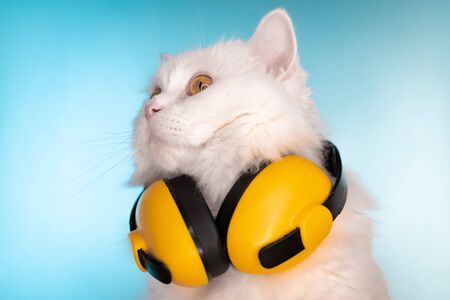 Portrait of fluffy cat in headphones on blue background. Music, earphones, cool animal concept. Studio photo. White pussycat.