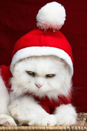 Portrait of a fluffy white cat in a Christmas decoration - Santa Claus costume on red studio background. New year, pets, animals meme concept. Zdjęcie Seryjne