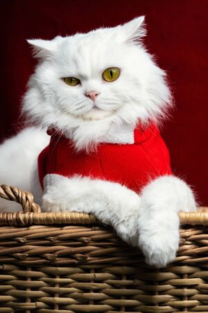 Portrait of a fluffy white cat in a Christmas decoration - Santa Claus costume on red studio background. New year, pets, animals meme concept Zdjęcie Seryjne