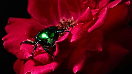 Close-up view of Green Rose chafer - Cetonia Aurata beetle on red rose. Amazing bug is among petals. Macro shot. Insect, nature concept.