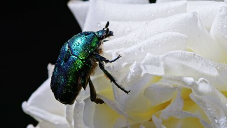 Close-up view of green rose chafer - Cetonia Aurata beetle on white flower of peony. Amazing emerald bug is among petals. Macro shot. Insect, nature concept.