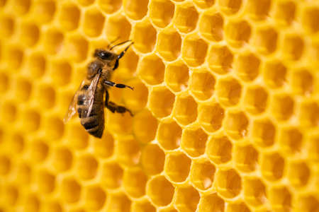 Worker bee processes pollen and pumps honey into comb. Apiary. Life of apis mellifera. Concept of honey, apiculture, beehive, insects.