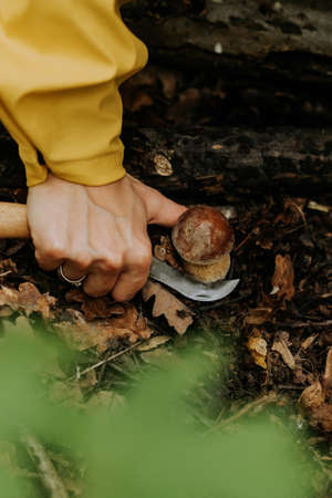 Picker cuts mushroom with special knife. Small fungus in fallen leaves in autumn. Popular Boletus Edilus in natural forest habitat.