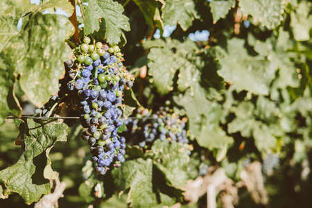 Ripe purple grapes. Vineyards at sunset light. Nature, winemaking concept.