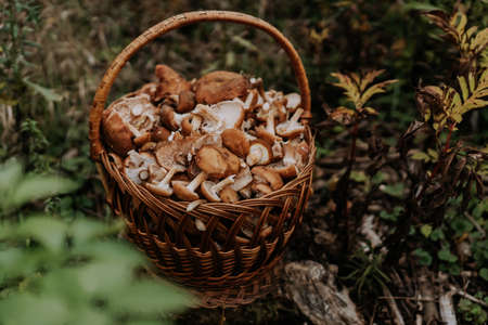 Basket full of gathered mushrooms from forest. Honey agarics, fungus concept,