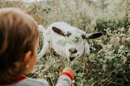 First meeting of toddler baby boy and white goat in nature. Child feeding nanny with grass. Summer field landscape with farm domestic animal. Nature and kids Zdjęcie Seryjne
