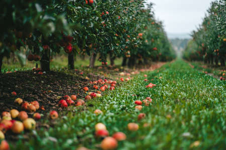 Amazing green apple trees garden. Ripe red fruits, organic food, agricultural concept.