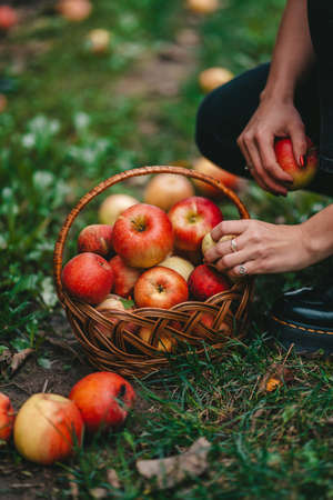 Unrecognizable woman picking up ripe red apple fruits in green garden. Organic lifestyle, agriculture, gardener occupation
