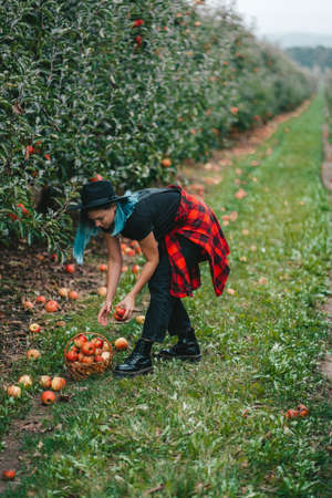 Blue haired woman picking up ripe red apple fruits in green garden. Organic lifestyle, agriculture, gardener occupation Zdjęcie Seryjne