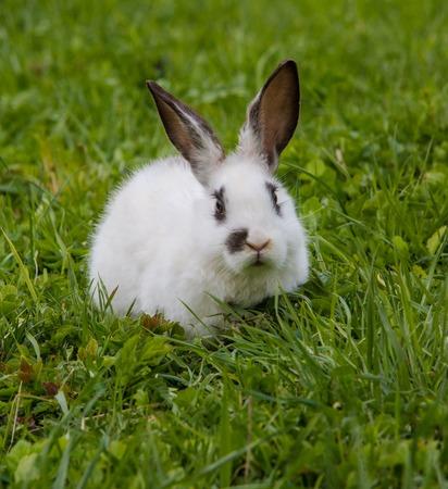 lapin: Un mignon lapin blanc mange une herbe verte savoureuse