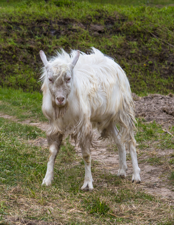 Summer is in full swing. A young white goat eats high juicy grass