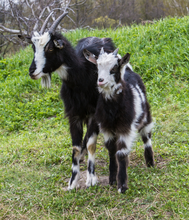 baby goat: Black hair goat cub with white spots eating in the middle of the grass. Stock Photo