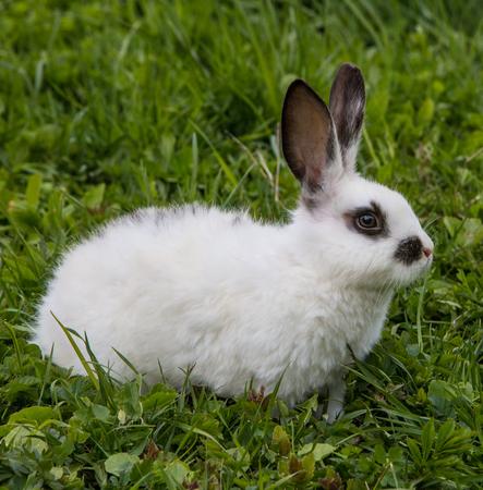 lapin: Une vue d'un lapin blanc sur une herbe verte Banque d'images