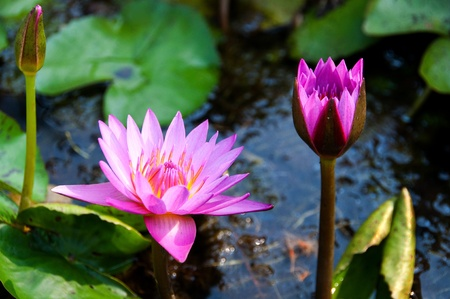 Two pink lotus photo
