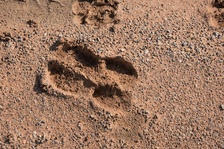 muddy tracks: cow foot print on muddy road