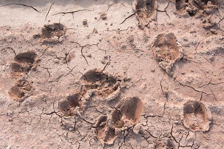 vestige: Human and cow footprints on crackup ground Stock Photo