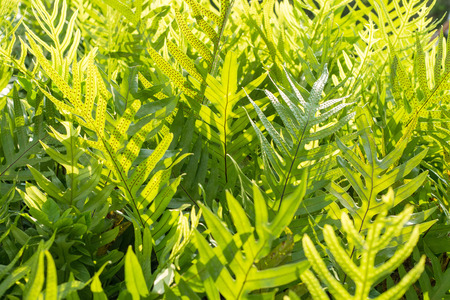 polypodiaceae: Clump of fern with back light for background Stock Photo