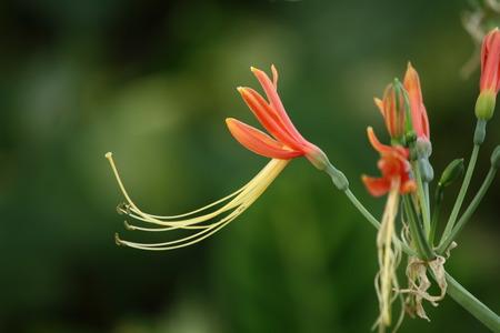 the stamens: Flowers, long stamens