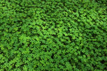 viability: Hydrocotyle Stock Photo