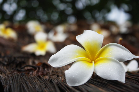 essays: Plumeria on wooden floor. Space for design and color pastel. Stock Photo