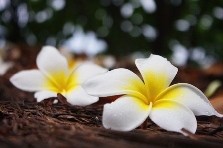 antecedents: Plumeria on wooden floor. Space for design and color pastel. Stock Photo