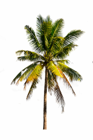Coconut tree isolated white background Stock fotó