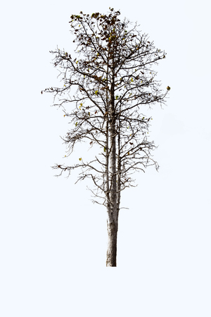 A tree isolated on a white background