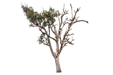 Barren tree isolated on a white background