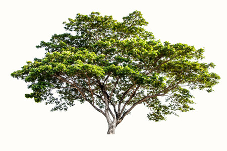 Big tree isolated on a white background