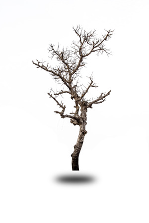 Dried tree isolated white background Stock fotó