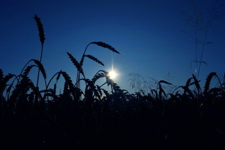 cornfield and sunset in background photo