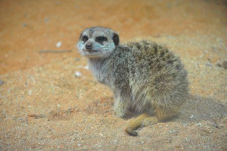 suricate: sitting nice suricate in nature
