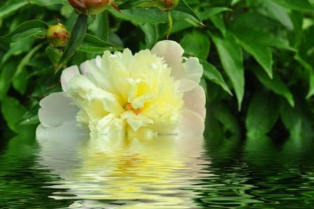 flower with water reflection photo