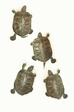 speed race of turtle photo