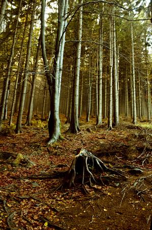 autumn sun in dark forest Standard-Bild