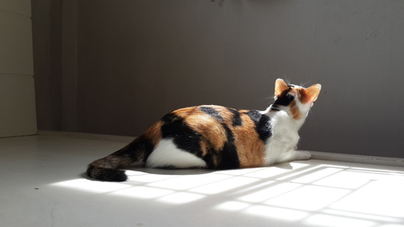 calico cat : Adorable cat staring at window.