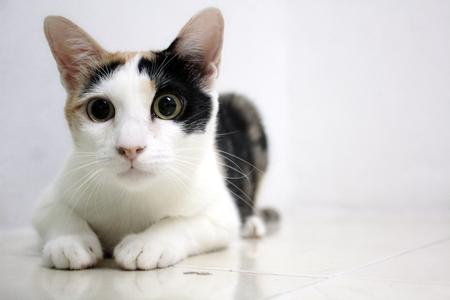 calico cat : cat raise eyebrows and eyeball. Stock Photo