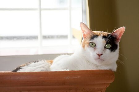 A calico cat lie down in the bath of clay stares at the camera. Her face is unique.