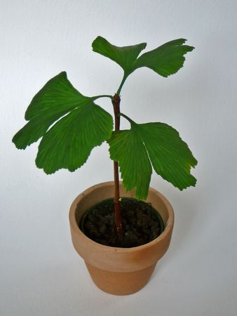 Young Ginkgo tree, native to China. This plant is a living fossil, dating back about 300 million years. Its important in Buddhism and Confucianism and is believed to cure many deseases.