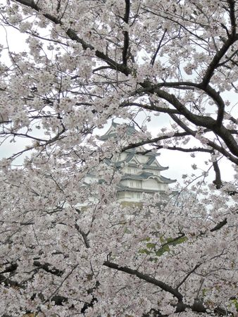 All Japanese love Sakura, the time of cherry blossoming. Stock Photo - 533508