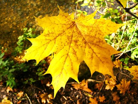 A yellow maple leaf in fall. Background is the forest soil in autumn. Reklamní fotografie