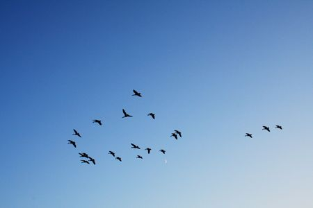 a flock of geese on a clear blue evening sky. If you look closely, you can see that theyre flying over the moon. photo