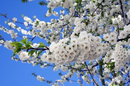 White cherry blossoms at full bloom.