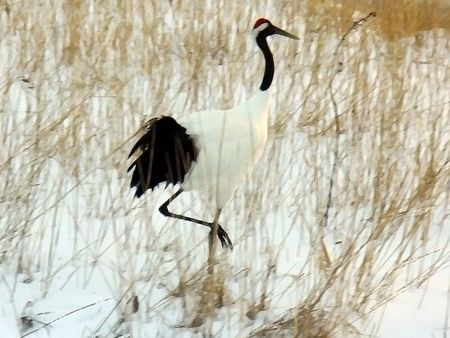 Illustration of a Crane in the snow. Based on a photo taken in Japan.