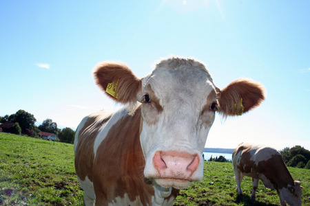 A curious cow coming real close to the camera. Picture taken near Lake Starnberger See in Bavaria. Stock Photo - 1573789
