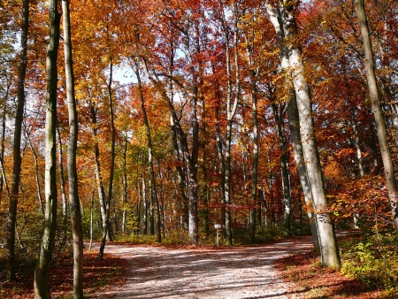 a footpath splitting in a red and golden autumn forest.