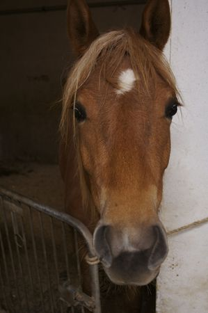 A Haflinger horse in its stable.  photo
