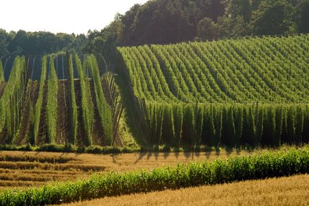 hops: A field of hops in late summer, ready to be harvested. Photo taken in Hallertau (Holledau), Germany. This is the worlds largest hops growing area.