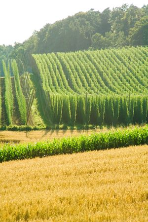 A field of hops in late summer, ready to be harvested. Photo taken in Hallertau (Holledau), Germany. This is the worlds largest hops growing area.